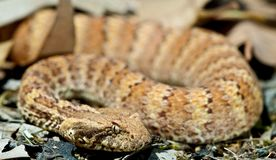 Death Adder sitting in leaves. Death Adder sitting in outdoor environment Royalty Free Stock Image