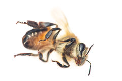 Death bee Stock Photos