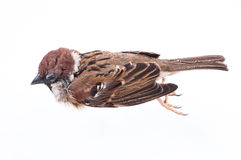 Death Body Of Sparrow Stock Images