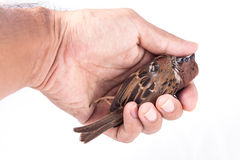 Death body of sparrow in hand Stock Image