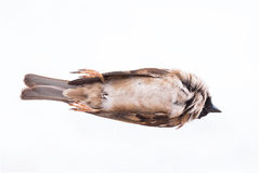 Death body of sparrow Stock Photography