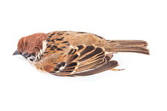 Death body of sparrow Royalty Free Stock Photography