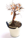 Death Bonsai tree Royalty Free Stock Photography