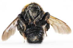 Death bumblebee Royalty Free Stock Image