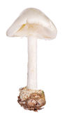 Death cap isolated on white Royalty Free Stock Photo