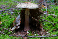 Death cap mushroom growing in conifer forest Stock Image