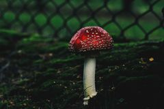 Death Cap Mushroom. S from low perspective Stock Images