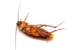 Death Cockroach. A death cockroach isolated on white background Stock Image