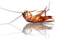 Death Cockroach Royalty Free Stock Photos