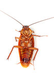 Death Cockroach Royalty Free Stock Images