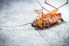 Death cockroach stock image