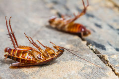 Death cockroach Royalty Free Stock Photos
