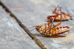 Death cockroach Royalty Free Stock Image