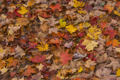 A death colored by a mixture of maple leaves. Nature offers us a spectacle in the autumn, in the trees but also on the soil of our trails or forests Stock Image