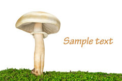 Death cup (Amanita phalloides) on the grass Royalty Free Stock Photography
