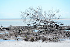 Death and Decay. Vegetation of the famous Mangue seco near jericoacora Brazil Stock Photos