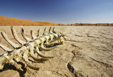 Death in the Desert. Remaining bones of dead Springbox laying in a dried up lake bed at Dead Vlei in Sossusvlei, Namibia Stock Photography