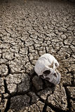Death at the desert. A human skull at the desert on a dry land stock photography
