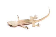 Death Gecko Royalty Free Stock Images