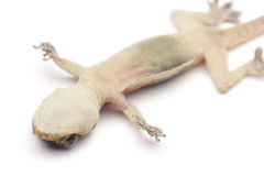 Death Gecko Stock Image