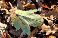 Death oak leaf on the ground Royalty Free Stock Photography