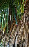 Death palm leaves Royalty Free Stock Images