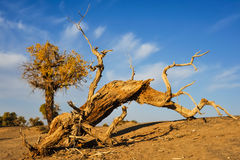 Death Populus euphratica. The death populus euphratica under sunset in desert of Inner Mongolia Royalty Free Stock Photo