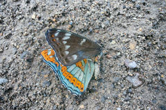 Dead butterfly Great viceroy Royalty Free Stock Photography
