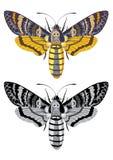 Death's head hawk moth. (Acherontia atropos) in color and greyscale Stock Image