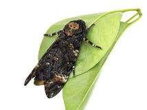 Death's-head Hawk moth Stock Photos