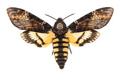 Free Death`s Head Hawk-moth Isolated On White Royalty Free Stock Photography - 154502817