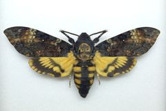 Death's head hawk moth Royalty Free Stock Image