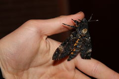 Death's head hawkmoth Stock Images