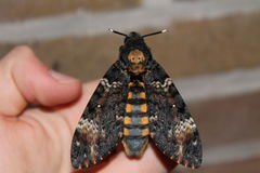 Death's head hawkmoth Stock Photography
