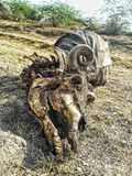 After Death. Skeleton of Buffalo Stock Images