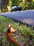Death squirrel Royalty Free Stock Photos