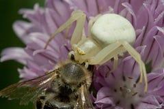 Death struggle. Spider vs bee, a death struggle royalty free stock photography