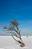 Death Tree. This image shows a death tree in winter royalty free stock photo