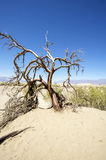 Death Tree in Death Valley National Park Stock Photo