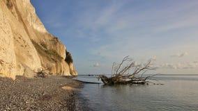 Death tree fallen of Moens Klint, limestone cliff in Denmark. Royalty Free Stock Photos