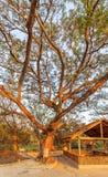 A death tree, Killing Field Choeng Ek, suburbs Phnom Penh, Cambodia. Royalty Free Stock Photo