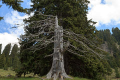 Death tree Royalty Free Stock Images