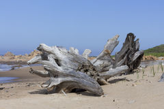 Death tree trunk. At the beach Stock Photo