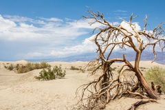 Dead trees in Death Valley National Park Stock Image