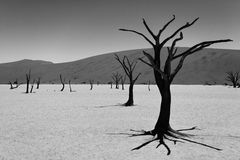 Death trees, Namibia. Image digitally altered intentionally. A view from Dead Vlei, Sossusvlei Namibia. Image digitally altered intentionally. Black and white royalty free stock photos