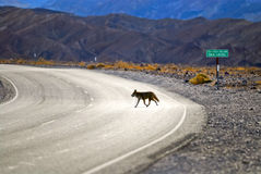 Death Valley Coyote Royalty Free Stock Photos