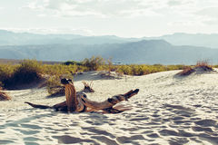 Death Valley Dunes panorama. Death Valley stiched panorama from mountain Royalty Free Stock Image