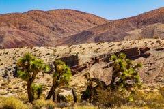 Death Valley joshua tree yucca plant in California stock photo