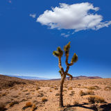 Death Valley joshua tree yucca plant Stock Images
