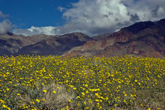 Death Valley na flor Fotografia de Stock Royalty Free